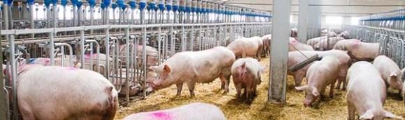 ganadero-porcino